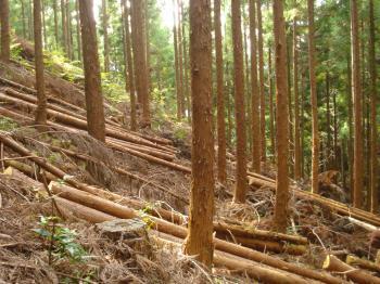 スギ人工林