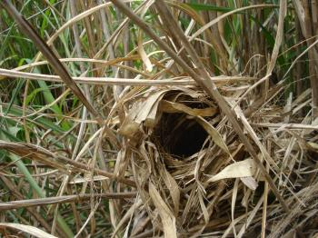 すすきの中の小鳥の巣