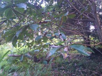 ホウノキ落葉