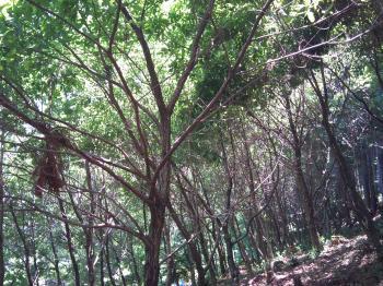 植栽されたコナラ
