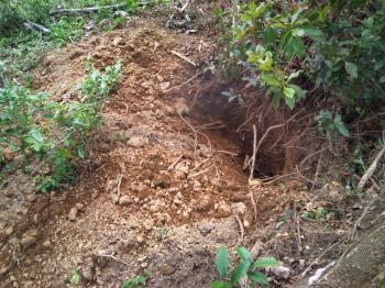イノシシの掘った穴