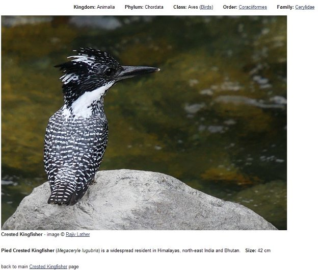 Pied Crested Kingfisher2