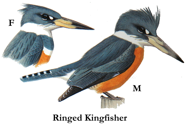 ringed_kingfisher[1]