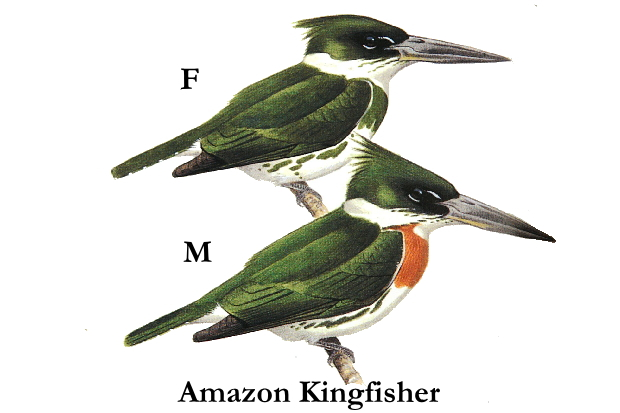 amazon_kingfisher[1]29-30Cm