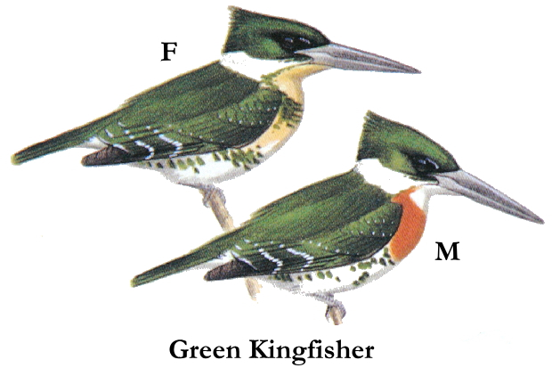 green_kingfisher[1]19cm