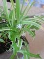 観葉植物花