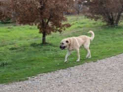 トルコトロイの犬