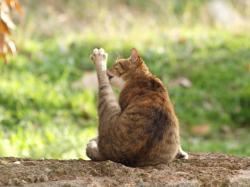 トルコトロイ猫