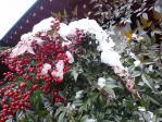 白い雪と赤い実の南天