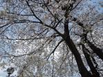 本門寺桜。