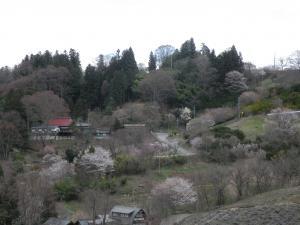 sakura20115.jpg