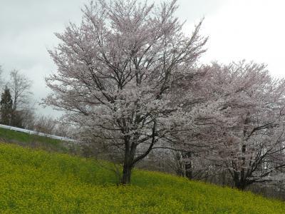 sakura20117.jpg