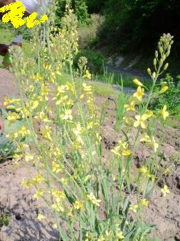 キャベツの花