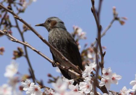 鳥もお花見2