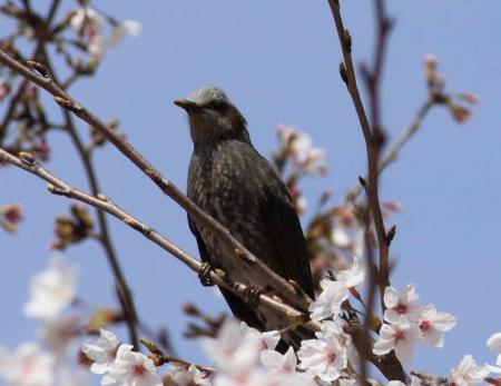 鳥もお花見1