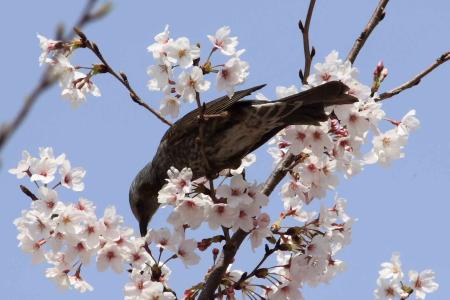 鳥もお花見5