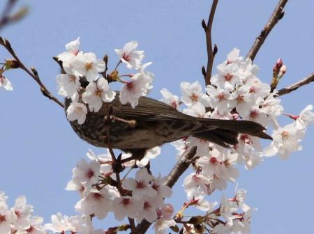 鳥もお花見4