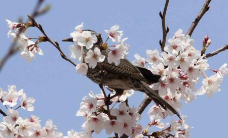 鳥もお花見6