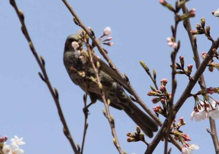 鳥もお花見3