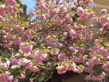 開山桜・カンザン