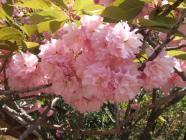 開山桜・カンザン (1)