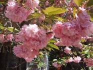 開山桜・カンザン (2)