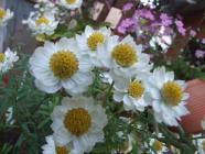 花カンザシ (1)
