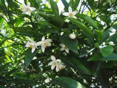 甘夏の花1