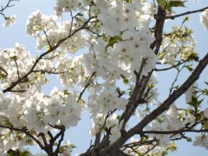 三野瀬の桜