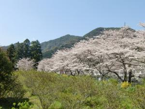 放水路沿いの桜