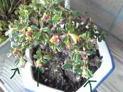 シロシタン花後20100525