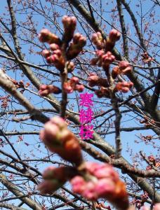 mini_11_kanhizakura_DSCF4365.jpg