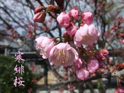 mini_11_kanhizakura_DSCF4389.jpg
