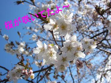 2011.5.14桜