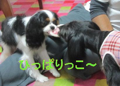 2011.5.22ひっぱりっこ