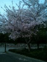 若干夜桜。