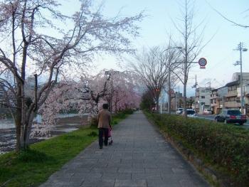 七条と五条の間 桜
