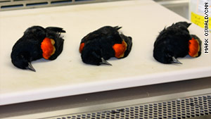 story_red_wing_blackbirds_cnn.jpg