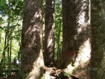 Dec 21st, 2011 NZ一番デカい木 (15)