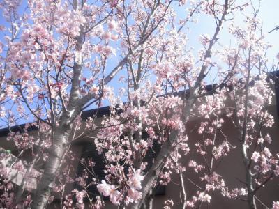 啓翁桜 満開