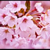 桜  wps_clip_image-22588