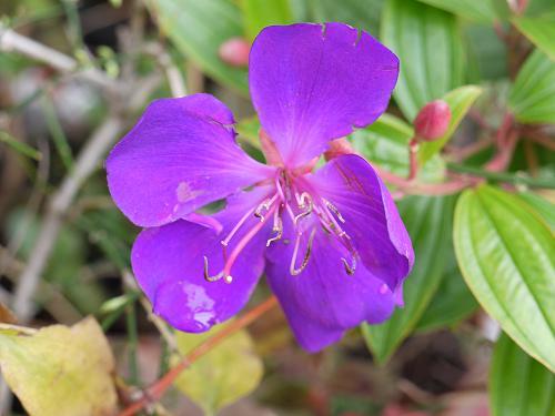 紫紺野牡丹2