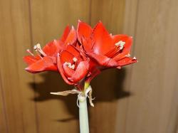 アマリリス4開花