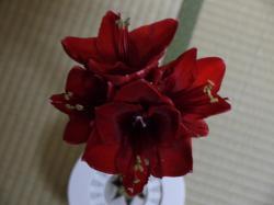 アマリリスの花2