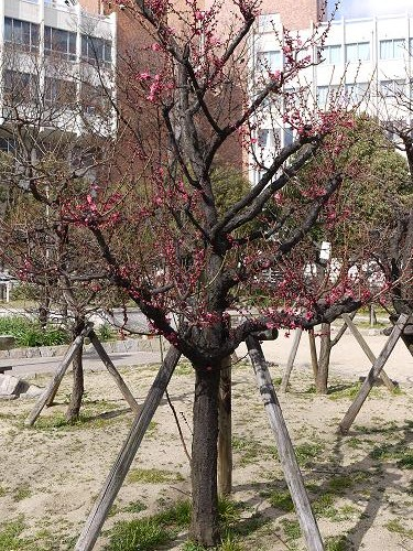 西九条公園・梅2010-0