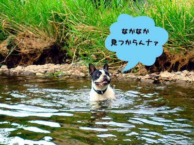 鮎のためなら川もへっちゃら!