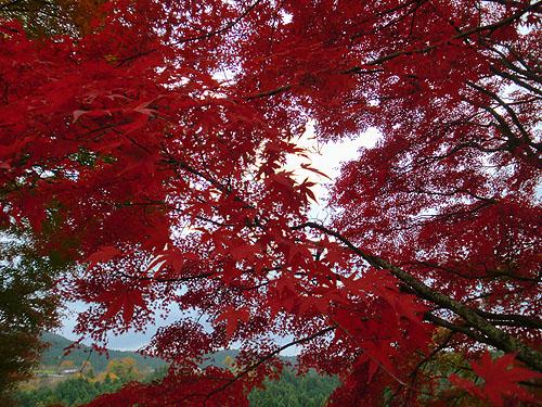 見事な紅色