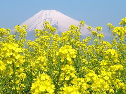 Nanohana_Fuji