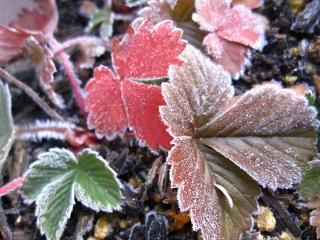 20100104_いちごの葉