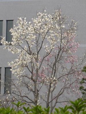 20100314_モクレン白×桃